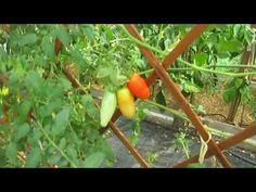 Βόλτα 3-8-2018 - YouTube Youtube, Stuffed Peppers, Vegetables, Stuffed Pepper, Vegetable Recipes, Stuffed Sweet Peppers, Youtube Movies