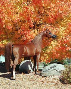 Magnum Psyche, The King of Kings, Arabian Stallion, World Wide Champion, International Champion