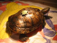 I have seen numerous suggestions for Russian tortoise diet Some great Some awful. Russian Tortoises are nibblers and appreciate broad leaf plants. Baby Red Eared Slider, Red Eared Slider Turtle, Pet Frogs, Pet Lizards, Pet Turtle, Turtle Love, Cute Turtles, Baby Turtles, Ninja Turtles