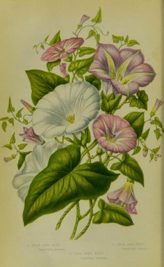 Bindweed (Convolvulus).  Illustration taken from 'The Flowering Plants, Grasses, Sedges and Ferns of Great Britain' by Anne Pratt. Published 1873 by Frederick Warne & Co.  King's College London, Foyle Special Collections Library.  archive.org