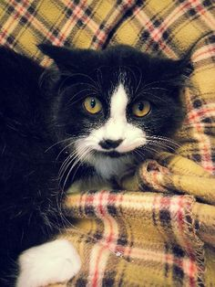 Smudge is a 10 month old, long-haired, black and white male cat. He was originally brought in in a feral trap, but he is not a feral cat! Smudge is quiet, shy, and a little scared, but a shelter employee works with him every day to bring him out his...