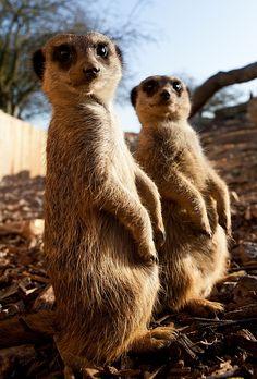 #animals #meerkat