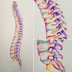 This is the biggest colourful spine I've ever done, and I'm pretty chuffed! . . . #spine #colourful #bones #orthopedic #chiropractor #physio #medicine #medicalschool #medschool #medstudent #doctor #futuredoctor #anatomyart #anatomy #anatomydrawing #medicalillustration #medicalart #colour #painting #watercolour #etsy #artistsofinstagram #almostanatomical