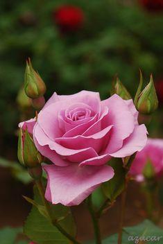 'Blue Light' – 'Blue Girl' | Hybrid Tea Rose.