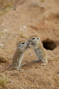 This pic of the day is again dedicated to the prairie dog! We have recently filed a motion in a lawsuit in Utah, defending the right of the prairie dog to stay on the endangered species list. Help us out: baby Animals Animals Cute Creatures, Beautiful Creatures, Animals Beautiful, Ground Squirrel, Baby Squirrel, Baby Chipmunk, Funny Squirrel, Cute Baby Animals, Animals And Pets