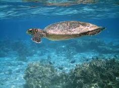 Cape Verde turtles