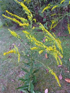 ELM-LEAVED GOLDENROD: (Solidago ulmifolia). Photographed in Center Twp., Beaver County, PA September 3, 2012.
