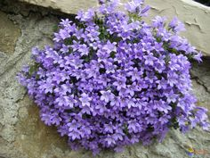 Campanula Purple Flowers