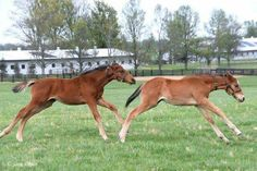 A foal by Curlin (the darker bay) playing with an American Pharoah colt out of Hessonite.  Photo credit: Sara Fagan