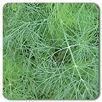 "Organic Greensleeves Dill A compact, high yielding dill for leaf production. Greensleeves does not bolt as quickly as other dills, such as Bouquet, that are used for both fresh herb, seed head production and cut flowers. This is an excellent variety for market growers and for container cultivation. Dark green leaves are aromatic and pleasingly sweet eaten fresh or dried. Average plant height is 24-30"". 15M seeds/oz (Anthenum graveolens)  Days to maturity: 45 days leaf"
