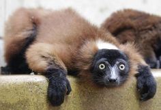 Un jeune maki vari roux au zoo de Wuppertal (Allemagne), le 12 juillet 2012. | FRANK AUGSTEIN / AP / SIPA