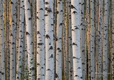 Late-afternoon sunlight in an aspen forest, Gunnison NF, CO by Michael Frye