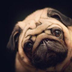 pugadise:  My sweet girl.