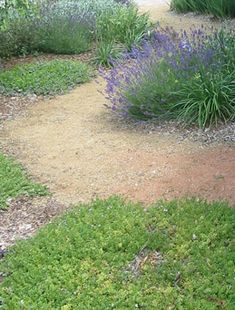 Front garden & nature strip where lawn was replaced with drought hardy ground covers such as Myoporum parvifolium (Fine leaf form), Scaevola 'Mauve Clusters', small shrubs such as dwarf lavender and Convolvulus along with accent plants like dwarf Agapanthus. Design Landscape Architect Jennie Curtis. Photo Edwina Richardson.