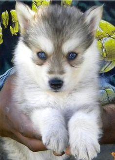 Gerberian Shepsky Full Grown cute husky germ...