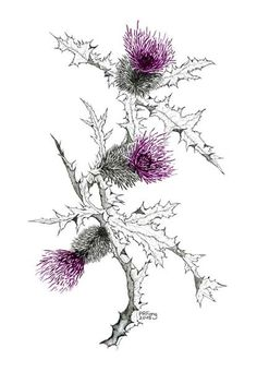 Thistle Illustration images
