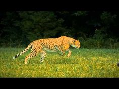 Cheetah - Super Slow Motion. WOW. Just wow. Beautiful.