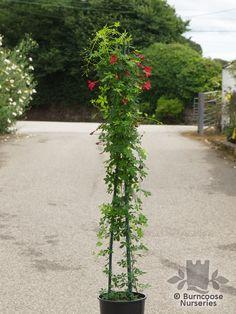 Buy Tropaeolum Speciosum plants from Burncoose Nurseries