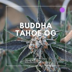 Buddha Tahoe OG, Photo credits: Double Dutch Farms