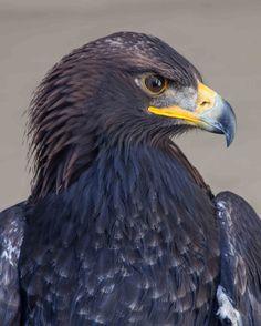 Golden Eagle.  Bird of Prey Photography by door CosmosCoolSupplies
