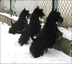 A row of Scotties