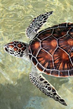 Under the Sea Photography : sea turtle via Loving Coastal Living - Design interests Sea Turtle Art, Baby Sea Turtles, Cute Turtles, Turtle Love, Sea Turtle Shell, Sea Turtle Painting, Happy Turtle, Sea Photography, Animal Photography