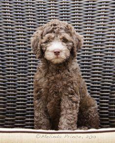 #Australian chocolate Labradoodle, #puppy, #pet portrait, #brown, #10 week old puppy, copyright M.Prince, 2013