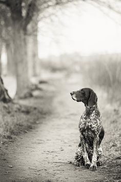 german shorthaired pointer just like my sisters dog ( JoC ) but she is all black and white