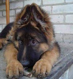 GSD Puppy BEAUTIFUL EARS!!