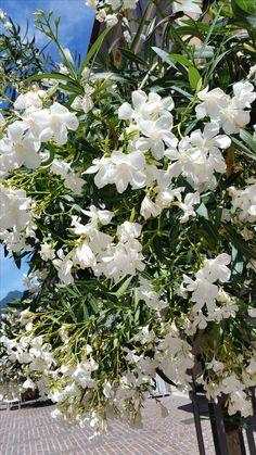 Oleander Plants, Summer 2016, Plant, Planting, Planets