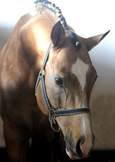 Legrande - buckskin Oldenburg stallion.