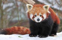 Pandas-vermelhos têm unhas que podem crescer até 45cm - apesar deles terem o mesmo tamanho que um gato doméstico.