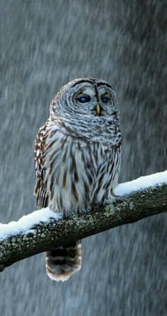 Grey Owl in the Snow