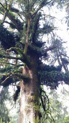 Family tree redwood