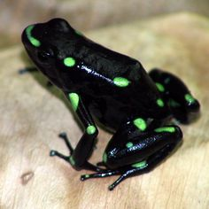 Les Reptiles, Reptiles And Amphibians, Mammals, Jungle Animals, Cute Animals, Beautiful Creatures, Animals Beautiful, Amazing Frog, Frog Pictures