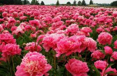 THUMBS UP! This is what the Peonies look like in bloom....oh yes, pretty in pink! I am in heaven:)