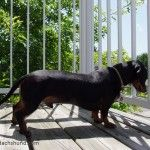 A Day in the Life of a Celebrity Dachshund