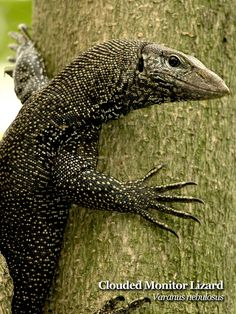 Clouded Monitor Lizard