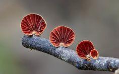 anthracophyllum-hongo