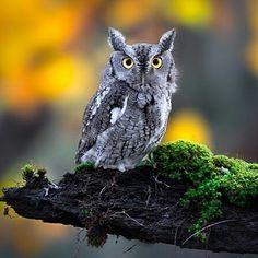 Beautiful owl great photo   Credit :  @ramtin.kazemi.photography - . .  For amazing owl photos and videos follow @owl.gifts #owl #owls #owllove