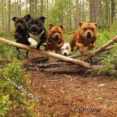 HP Stolpe Staffy @winnie_the_staffy at Instagram sbt umeå sweden nannydog  laughingdog