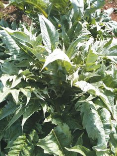 Cardoon - Herb 0.5g $2.10 from Southern Exposure Seed Exchange