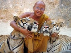 """Tiger Temple in Thailand """"...or Wat Pha Luang Ta Bua, is a Theravada Buddhist temple in western Thailand that was founded in 1994 as a forest temple and sanctuary for wild animals, among them several tigers, the majority of which are Indochinese tigers."""""""