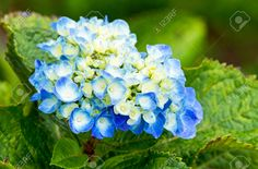 hydrangea flower - Google Search