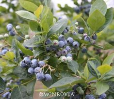 Jubilee Blueberry - Monrovia - Jubilee Blueberry.... 4/4/14  -  Actually in the front yard, by the light post. bought 2 for $1.99 each.