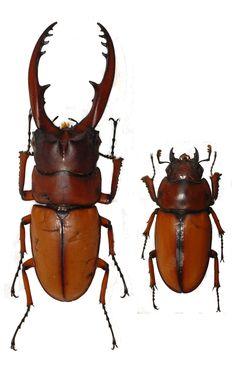 鍬形蟲科 Prosopocoilus astacoides blanchardi (Parry, 1873) 兩點鋸鍬形蟲 惠蓀林場   Flickr - Photo Sharing!
