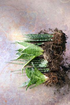 August 2015: Der Bogenhanf, Zimmerpflanze des Monats | Blumenbüro