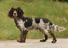 German Spaniel / Deutscher Wachtelhund
