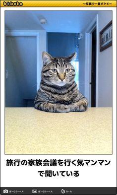旅行の家族会議を行く気マンマンで聞いている Cute Baby Animals, Animals And Pets, Funny Animals, Funny Photos, Cool Photos, Cat Shots, Humor, Cat Memes, Funny Cute