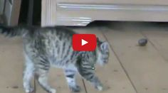 Cute Kitten Does an Hilarious Sideways Jump. Check out this cute kitty that's got all the right moves.